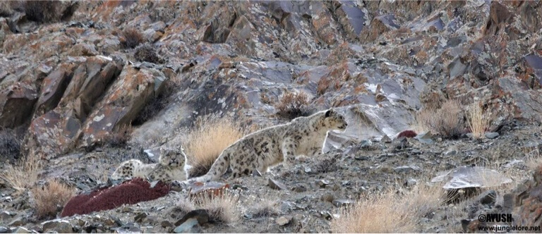 Two snow leopards cuddling up against the cold. Take a sneaky pic and send it to your potential flame.