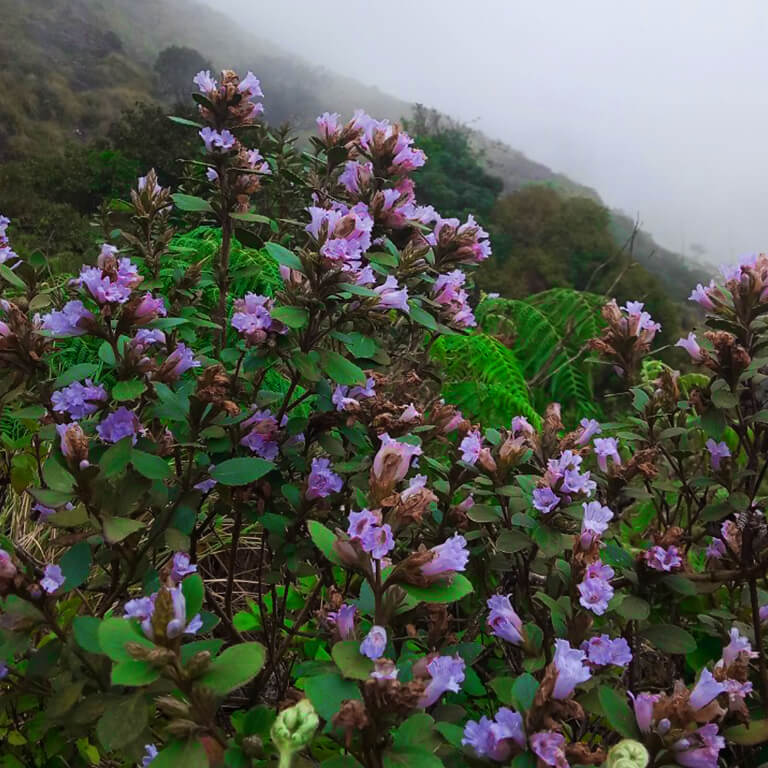 The rare Neelakurinji flowers painting the town purple. Share this with your favourite travel partner and inspire them to plan a trip!